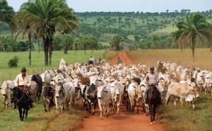 Cattle-ranching-in-Brazil-is-a-major-drive-of-deforestation-300x185