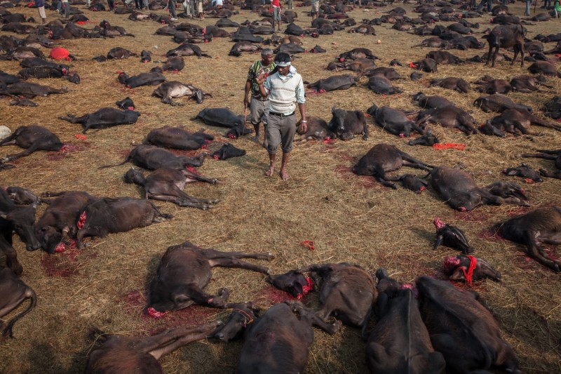 New evidence of Gadhimai festival slaughter