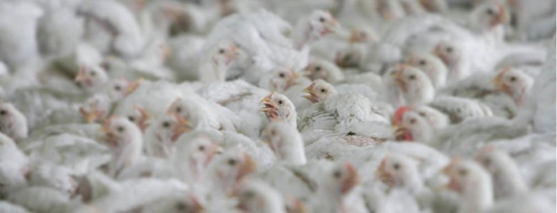 "Chicken farms ""risk workers and food safety"" – investigation"