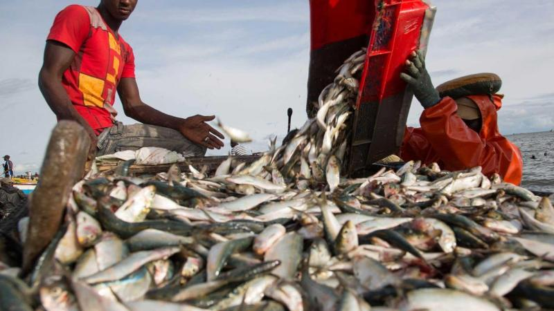 How Africa's fish are stolen to feed Western factory farms